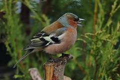 """""""Om du roper på sommer'n , så kommer'n""""! (If you shout for the summer, it's coming) (Moni'cam ツ) Tags: chaffinch bokfink fauna 7dwf"""