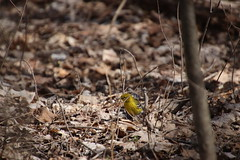 Pine Warbler at Maybury State Park (Northville, Michigan) - April 2018 (cseeman) Tags: parks stateparks michiganstateparks departmentofnaturalresources michigandepartmentofnaturalresources northville michigan maybury mayburystatepark trees trails paths nature publicparks wildlife mayburyapril2018 warbler pinewarbler birds mayburyapril2018pinewarbler