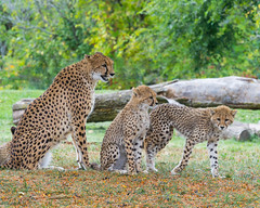 Toronto Zoo - Cheetahs (InfiniteBlue) Tags: acinonyxjubatus animals canada cheetah country felidae felines infiniteblue mammals northamerica on ontario scarborough toronto torontozoo