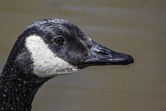 Duck ... Duck ... (gimmeocean) Tags: goose waterbeads rahwayriverpark rahway nj newjersey
