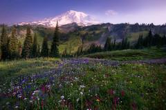 Bonanza (Sapna Reddy Photography) Tags: mountain rainier nationalpark flowers meadow spring landscape seasonal colors field grass mtrainier