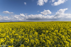 contrast of colour (Jason Davies Photography) Tags: rapeseedoil field sky sigmalenses sigma1020 nikonphotography nikon nikond5300 d5300 pembrokeshire pembrokeshirewales landscape photography visitpembrokeshire visitwales tourism farmfield coastpath outdoors outdoor outdoorphotography contrastofcolour clouds jasondaviesphotography wideangle