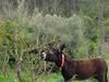 Platero en el Penedès (Joan Pau Inarejos) Tags: comer comiendo ordal abril primavera pont puente 2018 asno animales burro ase