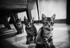 Tres gatitos! 🐈🐈🐈 (stratman² (busy-taking care of Joey)) Tags: canonphotography eos7dmarkii efs1755mmf28isusm iso2000 kittens shallowdof katzen chaton kitteh kittenmagazine kucingcomel monochrome cuteness catmoments cc100 explored kittyschoice neko blackwhite
