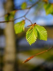 Spring time, Norway (Vest der ute) Tags: xt2 rogaland haugesund eivindsvatnet leaves tree sky branch water fav25