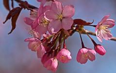 Cherry blossoms in Hässelby Strand in Stockholm (Franz Airiman) Tags: cherry körsbär träd tree hässelbystrand stockholm sweden scandinavia