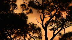 April 26th Sunset (Jim Mullhaupt) Tags: sunset sundown dusk sun evening endofday sky clouds color red gold orange pink yellow blue tree palm outdoor silhouette weather tropical exotic wallpaper landscape nikon coolpix p900 jimmullhaupt manateecounty bradenton florida cloudsstormssunsetssunrises photo flickr geographic picture pictures camera snapshot photography nikoncoolpixp900 nikonp900 coolpixp900