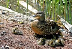 Bien à l'ombre sous maman :-) (jean-daniel david) Tags: oiseau oiseaudeau réservenaturelle lac lacdeneuchâtel yverdonlesbains nature canard colvert caneton roseau eau famille