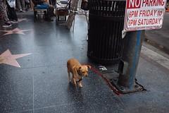 Hollywood Blvd, Los Angeles 2018 (monoauge) Tags: 2018 fuji fujix70 fujifilm fujifilmx70 usa x70 dog hollywoodblvd hollywoodboulevard hollywood losangeles cityofangels california kalifornien nopeople street streetshot streetphotography urban oliverkuehnel