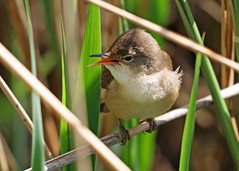Reed Warbler ANR 9th May 2018 (Nigel B2010) Tags: bird warbler reed nature reserve wildlife countryside attenborough nottinghamshire colour brown green white may spring sun midlands sing song