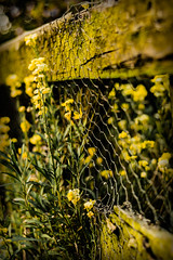 Happy Yellow Flower Fence Friday :o) (EYeardley) Tags: nikon nikon50mm d3300 50mm fence fencedfriday flowers blooms yellowflowers floral bokeh dof colourfusion mellowyellow nature