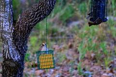 Breakfast at the Bistro (austexican718) Tags: texas native fauna centraltexas hillcountry backyard bird birdfeeder tree liveoak foliage