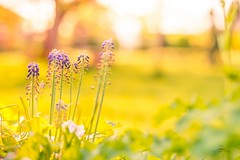 Spring light (icemanphotos) Tags: meadow flowers sunset light bokeh blur spring canon