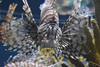 Pterois / Lion Fish (Adventurer Dustin Holmes) Tags: 2018 wondersofwildlife pterois lionfish fish animal aquatic saltwater animalia chordata aquarium