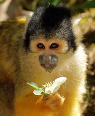 squirrelmonkey apenheul BB2A1890 (j.a.kok) Tags: doodshoofdaapje aap mammal monkey squirrelmonkey animal zoogdier zuidamerika southamerica apenheul primaat primate