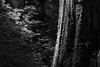 Big Bottom (Tony Pulokas) Tags: bigbottom oregon forest oldgrowth tree maple vinemaple leaf clackamaswilderness tilt blur bokeh lichen westernredcedar spring