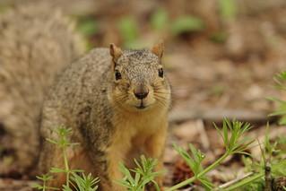 Squirrel, Morton Arboretum. 427 (EOS)