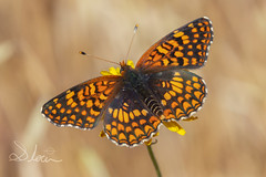 Northern Checkerspot (SlocumPhotography) Tags: northerncheckerspot checkerspot butterfly almadenquicksilvercountypark canon nature wings