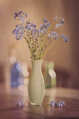 I Won't Forget (shawn~white) Tags: 100mm boraginaceae canon6d forgetmenots myosotis shawnwhite beauty blue bokeh charm flower fun harmonious nostalgia playful stacking stilllife texture vintage vase table tabletop