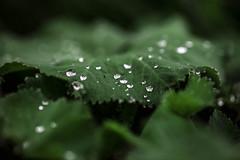 Drops. .. like a diamond (Julie Greg) Tags: details drops colours canon5dmarkiv leaf nature