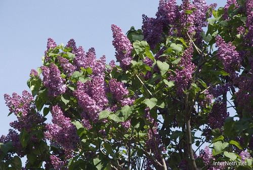 Сад бузків Ботанічний сад імені Гришка InterNetri  Ukraine 09