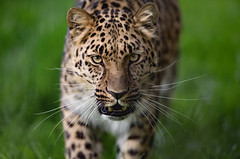 The Approach (niallbell.photo) Tags: big cat leopard amur teeth whiskars animal nature natural wild wildlife