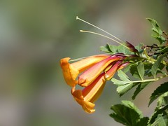 Tecoma sp (Linda DV) Tags: lindadevolder lumix panasonic dcfz83 geotagged geomapped tenerife 2018 spain islascanarias canaryislands europe bignoniaceae tecoma ribbet