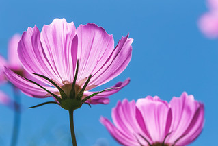 Growing pink cosmos flowers with clear blue sky