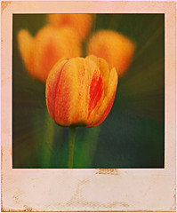 """Polaroid Tulip"" (Dave Linscheid) Tags: flower spring yellow red texture textured green butterfield watonwancounty mn minnesota usa"