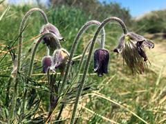 Wildflowers (Nick_Fisher) Tags: denmark nickfisher