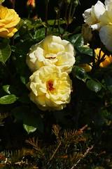 DSC_9993 (PeaTJay) Tags: nikond750 sigma reading lowerearley berkshire macro micro closeups gardens outdoors nature flora fauna plants flowers rose roses rosebuds