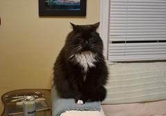 What is he thinking? (rootcrop54) Tags: batman comical tuxedo longhaired longhair male cat polydactyl sofaarm neko macska kedi 猫 kočka kissa γάτα köttur kucing gatto 고양이 kaķis katė katt katze katzen kot кошка mačka gatos maček kitteh chat ネコ