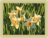 Spring's Golden Daffodils - EXPLORE #16 Front Page (bigbrowneyez) Tags: daffodils gorgeous lovely beautiful blossoms leaves faces pretty light golden twilight bright warm glow spring primavera frame cornice nature natura artful delightful sweet dolce bello bellissimi fresh festival tulipfestival dowslake sunny goldenhour springsgoldendaffodils fiori fleurs foglie explore exploremay222018 explore16frontpage