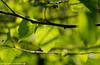 Fresh leaves on the birch tree. (andreasheinrich) Tags: spring nature birch birchleaf tree april evening sunny warm colorful germany badenwürttemberg neckarsulm dahenfeld deutschland frühling natur birke birkenblatt baum abend sonnig farbenfroh nikond7000