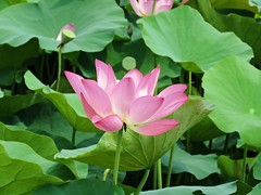 beauty of early summer (oneroadlucky) Tags: nature plant flower lotus waterlily pink green