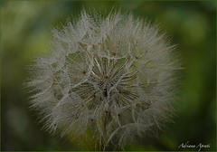 Dopo la pioggia (adrianaaprati) Tags: rain dandelion macro drops countryside country may spring