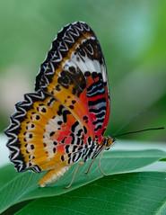 Colorful Butterfly (billcoo) Tags: vietnam bokeh macro insect xf80mm fujifilm xf14x