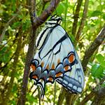 Papilio glaucus (Eastern Tiger Swallowtail, female) thumbnail