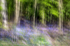 Blue Carpet (cotswoldman) Tags: forest forestofdean deanforest gloucestercameraclub gloucestershire bluebells colour landscape trees tree wood woods impression intentionalcameramovement icm impressionism impressionist abstract artistic art blur