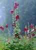 Mallows (arthurverigin) Tags: mallow fog morning mist plant siberia flower web мальва цветок