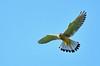 _DSC_8370_2 (florian.glechner) Tags: falke raubvogel vogel fliegen himmel jagt greifvogel