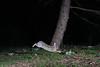 Bunny Hop (adbecks) Tags: camera trap dslr d3300 nikon rabbit wildlife nighttime kit lens flash sb28 strobist
