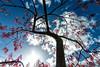view from below (Nantwichborn) Tags: japanese maple tree red blue clouds sun nikond90 nikon tokina tokina1116mmf28