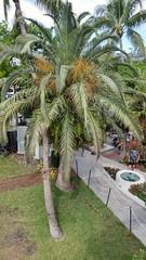 2018-04-26_09-09-56 (Kaemattson) Tags: theernesthemingwayhomeandmuseum hemingway house key west florida keys tropical garden palm tree flowering fruiting