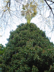 (sftrajan) Tags: valencia palmera botanicgarden palmtree palmier valenciabotanicgarden jardíbotànic jardinbotanico españa spain jardíbotànicdelauniversitatdevalència palmae jardínbotánicodelauniversidaddevalencia arecaceae botanicalgarden botanischergarten jardínbotánico jardimbotânico jardinbotanique