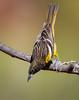 Scott's Oriole (Male) (Eric Gofreed) Tags: arizona mybackyard oriole scottsoriole sedona villageofoakcreek yavapaicounty