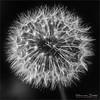 HMM - Dandelion in B&W (Hans van Bockel) Tags: 105mm bloemen macro natuur natuurgebied nikkor nikon tuin voorjaar paardenbloem hmm closeup dandelion nik silver efex lightroom photoshop zwartwit bw square d7200 explore