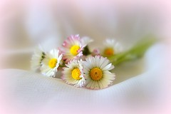 Daisies (majka44) Tags: flower bouquet nice small little pink daisy macro life lifestyle light soft delicate