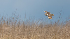 Short Eared Owl (Glenn.B) Tags: gloucestershire owl shortearedowl grassland bird birdofprey avian