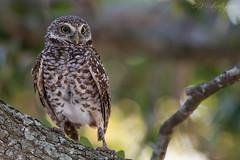 Burrowing owl - away from the burrow! (Oliver Geiseler) Tags: eule owl burrowing burrowingowl kaninchenkauz kauz baum tree florida usa wildlife wildlifephotography bird birds photography birdphotography animalplanet